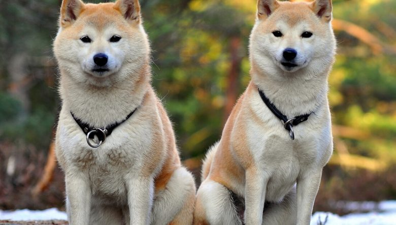 Get To Know The Akita Race Hound In His Old Neighborhood